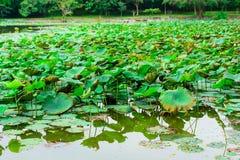 Лист цветков лотоса Стоковая Фотография RF