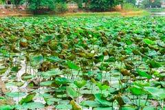 Лист цветков лотоса Стоковая Фотография