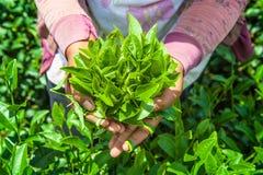 Лист чая в руке Стоковая Фотография