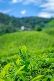 Лист чая на плантации чая Стоковые Изображения