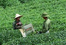 Лист чая работника havesting на плантации в Moc Chau Стоковые Фотографии RF