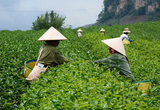 Лист чая работника havesting на плантации Стоковые Фото