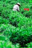 Лист чая рудоразборки подборщика чая на плантации стоковое изображение rf