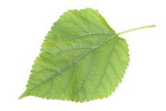 Лист шелковицы Стоковые Изображения RF