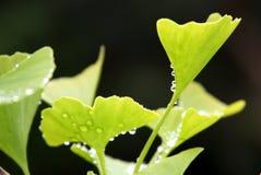 Лист Biloba гинкго с падениями воды Стоковые Фото