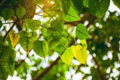 Лист Bodhi в предпосылке сада и defocus стоковая фотография rf
