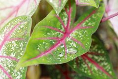 Лист Caladium с водой Стоковые Изображения