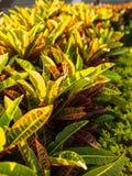 Лист Croton в парке Стоковая Фотография RF
