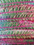 Лист croton или Codiaeum сада стоковое изображение rf