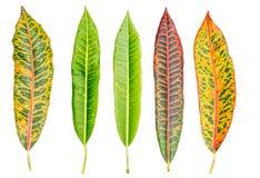Лист Croton Стоковое Изображение RF
