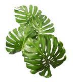 Лист deliciosa Monstera изолированные на белой предпосылке Стоковые Изображения