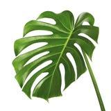 Лист deliciosa Monstera или завод швейцарского сыра, тропическая листва изолированная на белой предпосылке стоковое изображение rf