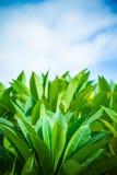 Лист Plumeria Стоковые Изображения RF