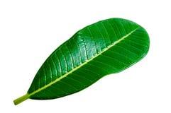 Лист Plumeria Стоковые Изображения