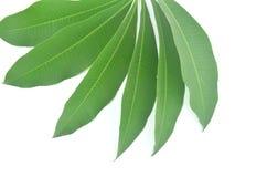 Лист scholaris Alstonia естественные зеленые Стоковая Фотография RF