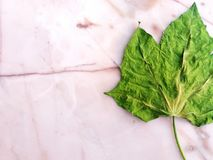 Лист spinac Chaya или дерева на поле marbel или белой стене Стоковое Изображение