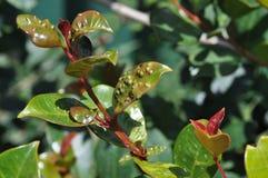Лист Syzygium зараженные с яичками psyllid Стоковое Изображение RF