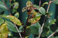 Лист Syzygium с psyllid Стоковые Изображения