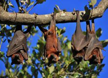 Лисы летания спать обернутые вверх в их крылах Стоковая Фотография