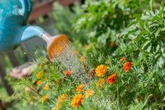 Лить вода к цветкам в саде с моча консервной банкой стоковые изображения rf