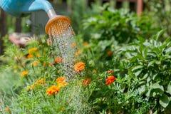 Лить вода к цветкам в саде с моча консервной банкой стоковые фотографии rf