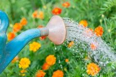 Лить вода к цветкам в саде с моча консервной банкой стоковое изображение rf