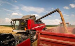 Лить зерно пшеницы в прицеп для трактора после сбора стоковая фотография rf