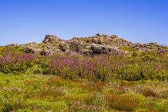 Лихнис цветет полностью цветене между выходами скалы на поверхность на острове Skomer, Стоковые Фотографии RF