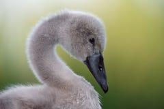 Лицевой портрет пушистого молодого лебедя Стоковое Изображение RF