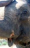 Лицевые характеристики азиатского слона стоковое изображение