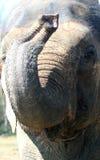 Лицевые характеристики азиатского слона стоковая фотография