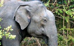 Лицевые характеристики азиатского слона стоковая фотография rf