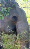 Лицевые характеристики азиатского слона стоковые изображения