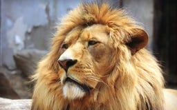 Лицевые характеристики африканского льва стоковая фотография rf