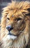 Лицевые характеристики африканского льва стоковое изображение