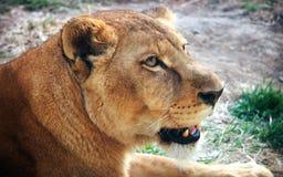 Лицевые характеристики африканской львицы стоковые фото