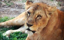 Лицевые характеристики африканской львицы стоковое фото rf
