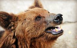 Лицевые характеристики бурого медведя Стоковые Фотографии RF