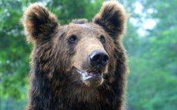 Лицевые характеристики бурого медведя Стоковая Фотография RF