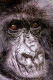 Лицевые характеристики гориллы горы стоковое изображение
