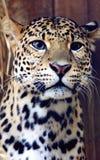 Лицевые характеристики леопарда Javan стоковые изображения rf