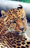 Лицевые характеристики китайского леопарда или леопарда северного Китая стоковая фотография