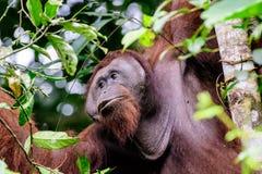 Лицевые характеристики мужского орангутана стоковые фотографии rf