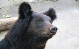 Лицевые характеристики manchu бурого медведя или волосатого медведя уха Стоковая Фотография