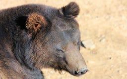 Лицевые характеристики manchu бурого медведя или волосатого медведя уха Стоковое Изображение
