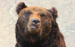 Лицевые характеристики manchu бурого медведя или волосатого медведя уха Стоковые Изображения