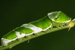 Личинка бабочки на зеленом цвете Papiliomemnon хворостины Стоковые Фотографии RF