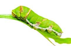 Личинка бабочки стоковые фото