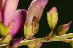 Личинка бабочки, caerulea Rapala Стоковая Фотография RF