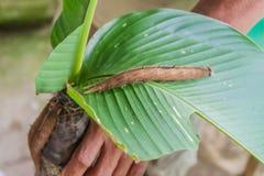 Личинка бабочки catterpillar стоковое изображение rf